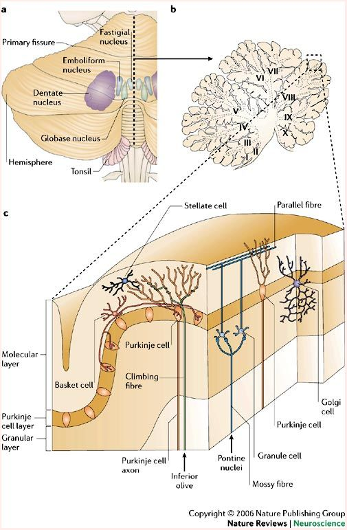 The primate cortico-cerebellar system: anatomy and function                                                                                                                                                                                 More