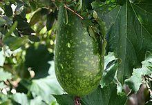 Courge cireuse — Wikipédia