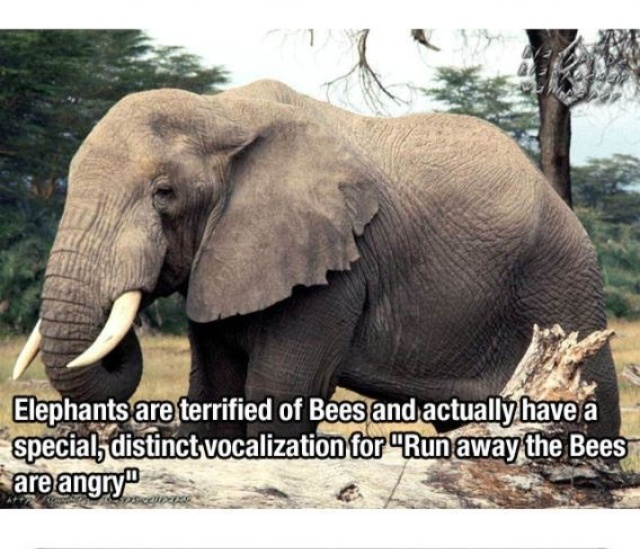 Elephants are afraid of bees! One charity in Africa is creating beehive fences to keep elephants from destroying crops on farms.
