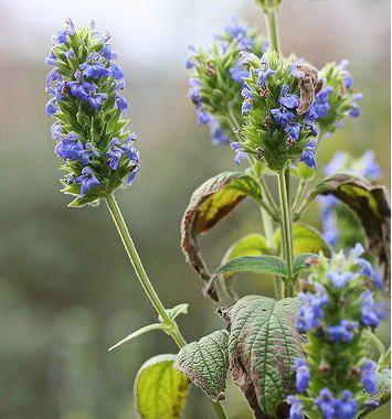 ◇ サルビア・ヒスパニカ(Salvia hispanica) シソ科の1年草<br>◇ ダイエット食品として有名な、チアシードはこのチアの種の事です。<br>こんなに可愛い青いお花が咲くんですね♪<br>(種を水に入れると表面が水を含んでふくらみゼリー状の粒々となります)<br>◇メキシコ南部から中央アメリカに分布し、生長は比較的早く、3 か月で高さ 1m 近くに育ちます。<br>◇ 花色は青で、1cmくらいの小さなお花が集合して咲きます。<br>◇ 種蒔き:4月下~5月上旬<br><br>■■種の保管方法■■<br>種蒔き適期までしばらく種を保存する場合、乾燥剤(海苔などに添えられているものでOK)<br>と共に、茶筒やガラス瓶に入れて、冷蔵庫の野菜室(5℃程度の場所が理想)で保管します。<br>これで半年~1年程もちます。