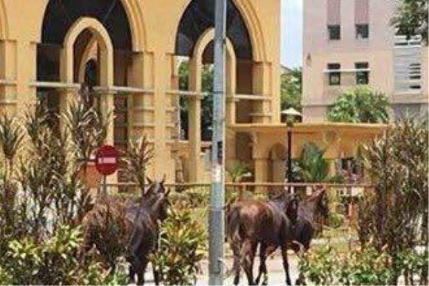 Penampakan beberapa ekor kuda berlumba di Ipoh   Satu klip video menunjukkan beberapa ekor kuda lumba terlepas daripada kandang lari di Jalan Raja Hilir menjadi viral pada Rabu.  Kuda berlumba di Ipoh  Kuda berlumba di Ipoh  Menerusi video berkenaan sekurang-kurangnya empat ekor kuda dilihat berkeliaran di sekitar bandar.  Menurut saksi haiwan itu juga dilihat melintas jalan di bawah jejambat berhampiran sebuah hospital swasta pada kira-kira pukul 1 tengah hari.  Kuda-kuda itu juga dilihat…