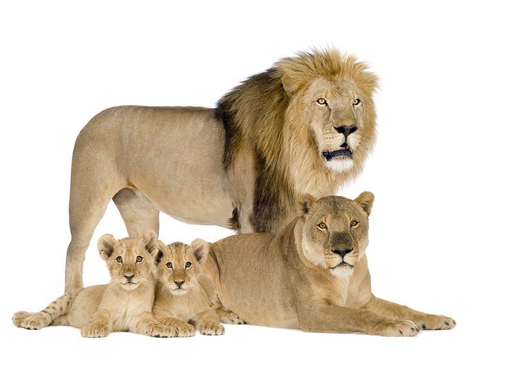 Big cats Lions Cubs Animals