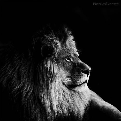 Résultats Google Recherche d'images correspondant à http://twistedsifter.files.wordpress.com/2012/04/black-and-white-animal-portraits-square-nicolas-evariste-10.jpg