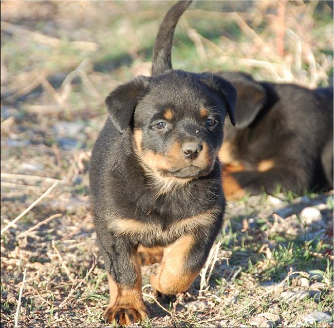 rottweiler puppies for sale in idaho | Zoe Fans Blog