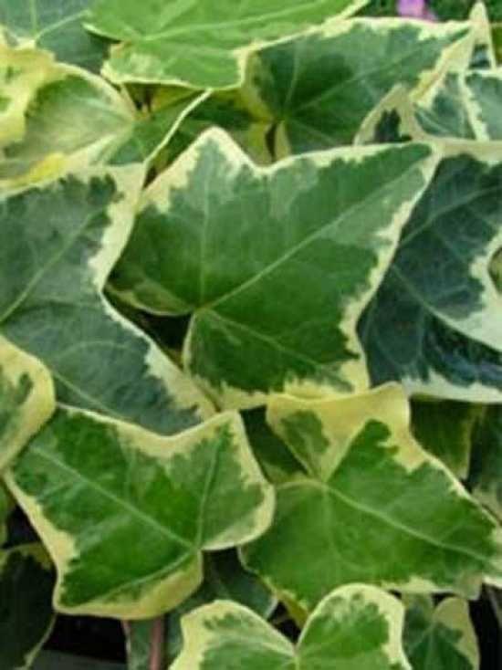 17 best images about ivy on pinterest garden supplies. Black Bedroom Furniture Sets. Home Design Ideas