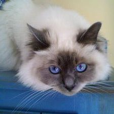 Birman kitty....how can you resist those beautiful blue eyes, they make me melt!