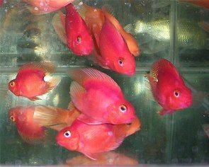 15 best images about parrot fish on Pinterest   Cute fish ...
