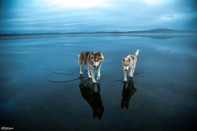 Surreal Photos Of Huskies Walking On Water Will Leave You Spellbound