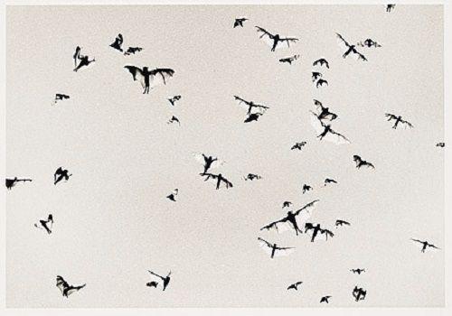 Flying-foxes, Mataranka, outback Northern Territory 2004