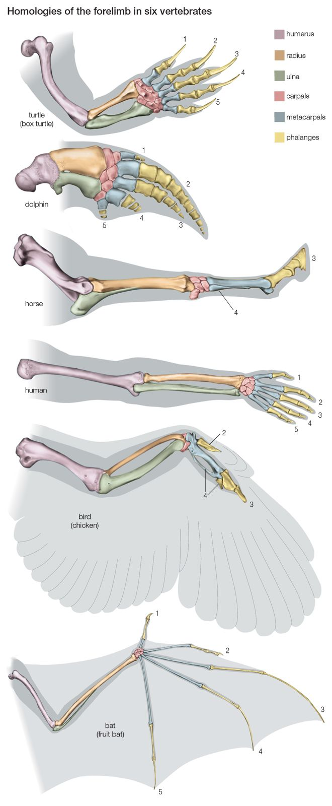 homology: homologies of the forelimb among vertebrates... I'm pretty sure this is straight from a textbook...