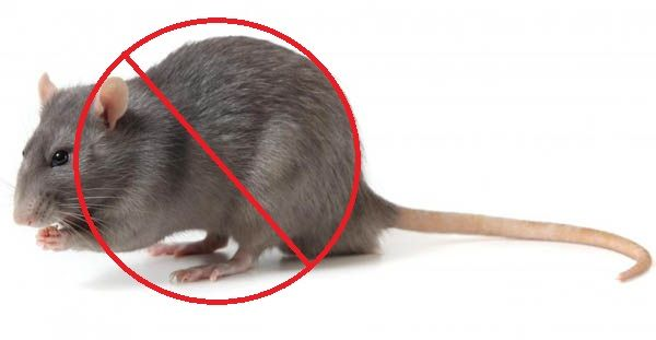 Call @ 9999787571. We are providing exclusive rakshabandhan offers on our pest control services. Uproot rats from your premises with excellent and high-performing rats control service of Mourier pest control.