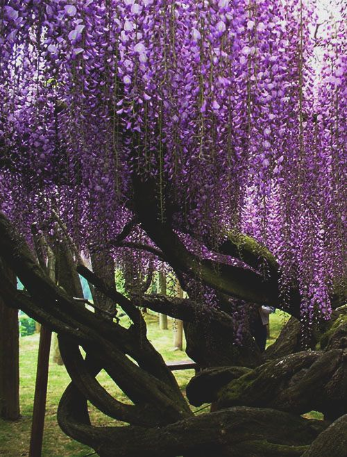 Wisteria tree - I would like one of these trees in my yard...except when they bloom, they stink!