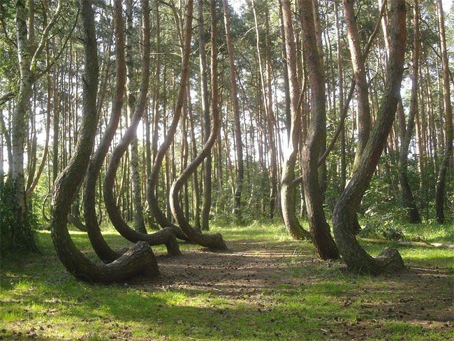 "Explore the mysterious ""crooked forest"" of Western Poland, with 400 pine trees all growing with a 90-degree bend at the base. The reason behind the curved trees remains unknown to this day."
