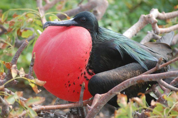 El derrame de petróleo ocurrido en Tumaco afecta nuestra #biodiversidad. La 'Fregata Magnificens', ave de la que en el SiB Colombia tenemos registro en esta zona del Pacífico, es uno de los animales que se van a ver impactados por este evento. http://goo.gl/fcDdTI