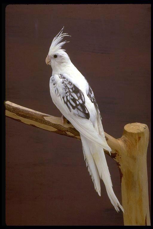 White cockatiel.