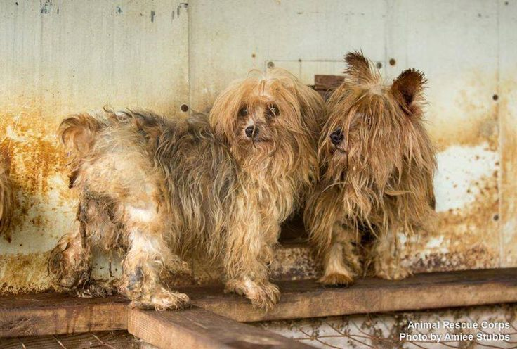 Puppy mills house dogs in overcrowded and unsanitary conditions, without veterinary care, food, water and socialization. Puppy mill dogs do not get to experience treats, toys, exercise or basic grooming. To minimize waste cleanup, dogs are often kept in cages with wire flooring. Breeding dogs at mills might spend their entire lives outdoors, exposed to the elements, or crammed inside filthy structures where they never get to breathe fresh air. Click for more info.