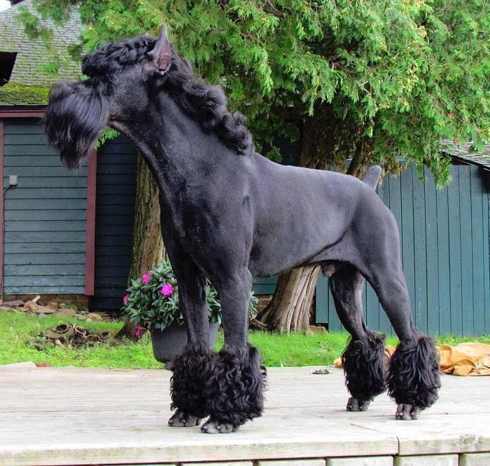 Giant Schnauzer My Little Pony