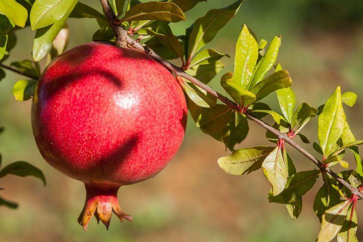 1000 id es sur le th me prunier sur pinterest malus arbres fruitiers et fruitier - Comment planter un cerisier ...