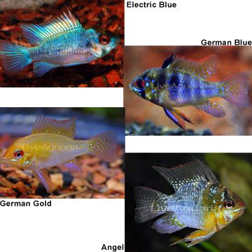 Ram (Electric Blue $39.99, German Blue $8.49, German Gold $12.99 ...