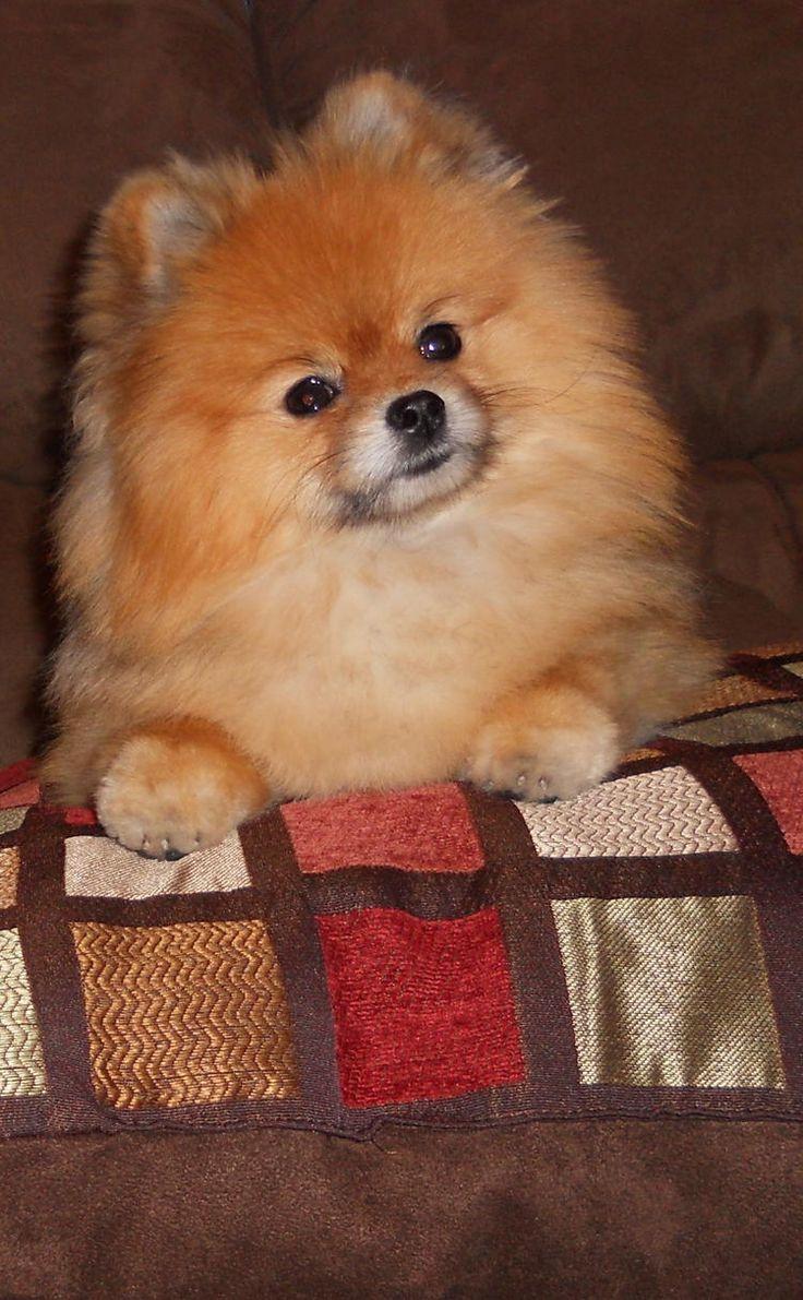 Ali, the Pomeranian.