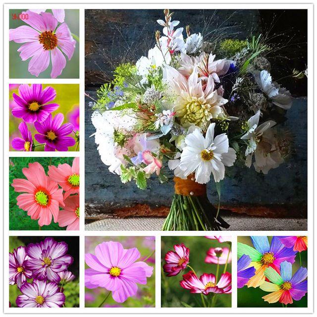 100 Sztuk Paczka Cosmos Nasiona Odkryty I Kryty Roslin Kwiatowych Latwa W Uprawie Doniczkowe Kwiaty Dla Flower Pots Indoor Flowering Plants Planting Flowers