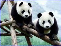 Panda Wallpaper Ipad 184 HD Wallpapers