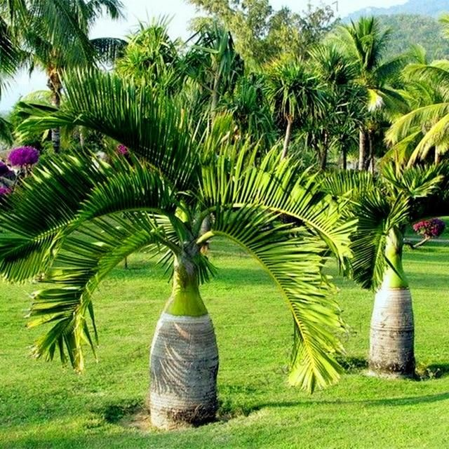 "Hyophorbe lagenicaulis 4/"" pot /'Bottle/' Palm/"" Palm Tree Live Tropical Rare"