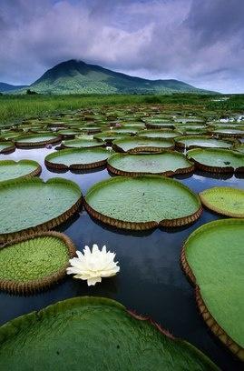 Vitória-régia is a flower like a lotus, but Brazilian. Pantanal - Mato Grosso do Sul