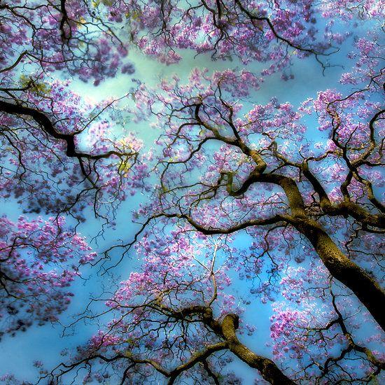 Cherries Blossoms, Jacaranda Trees, Blue Sky, Nature, Cherries Trees, Flower Trees, Art, Beautiful, Blossoms Trees