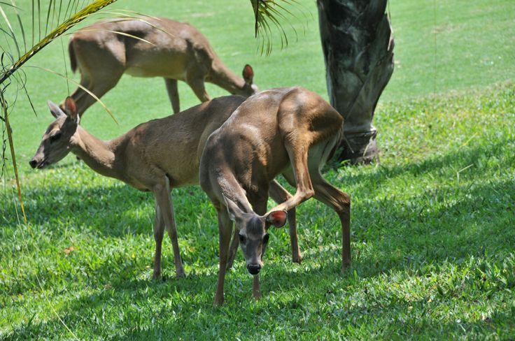 Deer on our Golf Course in Los Delfines, Playa Tambor.