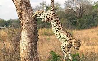 Luxury Safaris at Bateleur Camp in Masai Mara,Kenya, Southern Africa  