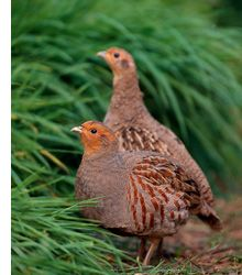 Grey partridge re-introduction day