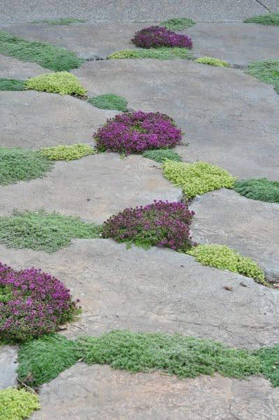 "Plant wooly thyme, creeping thyme, ""little prince"" thyme, and elfin thyme between cracks in the cement. Awesome! ♥"