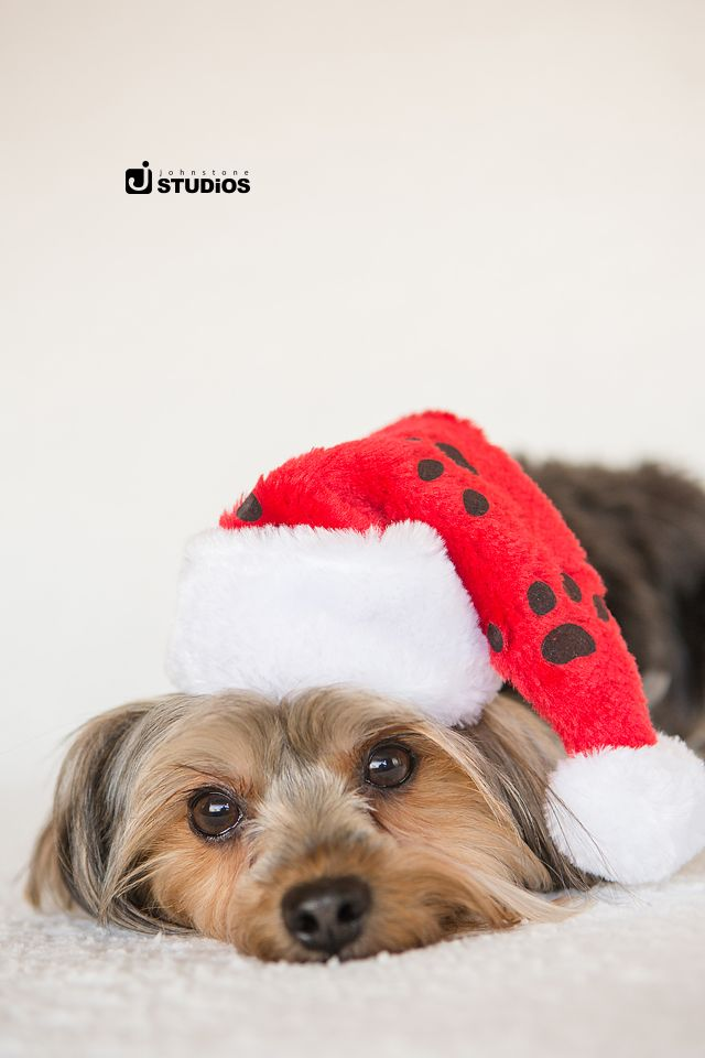 We love this little pup in his Santa hat! Christmas pet photography by Johnstone Studios