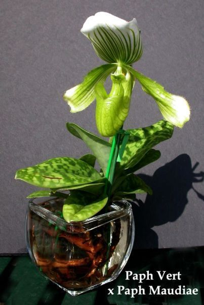 Growing Lady Slppiers in Water culture - Orchid Forum Orchid Care