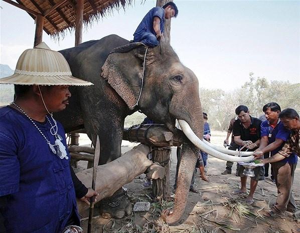 A los elefantes les recortan los colmillos para que puedan llegar con mayor facilidad a la comida, Tailandia.