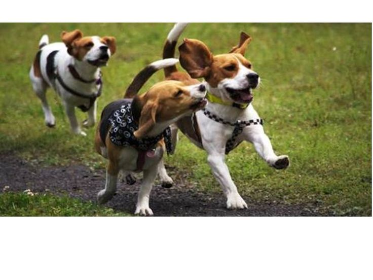 """Razas De Perros Medianos Para Departamento.   """"Amor y ternura con perros medianos en el hogar""""    Hoy día tener un perro en casa es algo que no se hace por obligación sino por una necesidadde querer tener una compañía al lado que en muchas ocasiones entra a formarte integral de la familia, tanto que se convierte como un hijo más en la casa. Te dié que esta es una de las mejores opciones cuandoquieres adoptar un perros.  Es más los....  Razas De Perros Medianos Para Departamento. Para ver…"""