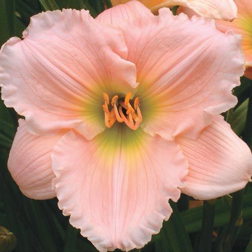Barbara Mitchell Reblooming Daylily--have some of these