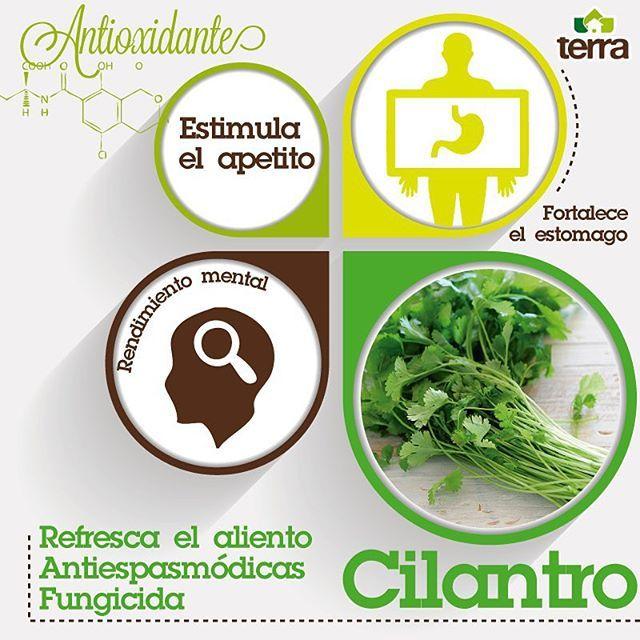 El #cilantro además de delicioso en nuestras comidas, es de gran beneficio para la salud #Huertas #terrapyj