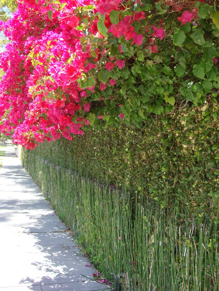 This is bamboo used as a fence with bougainvillea