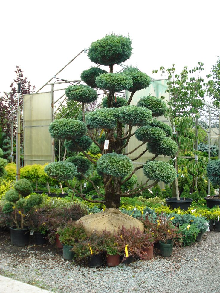 I call these dr suess trees bonsai topiary for Topiary garden designs