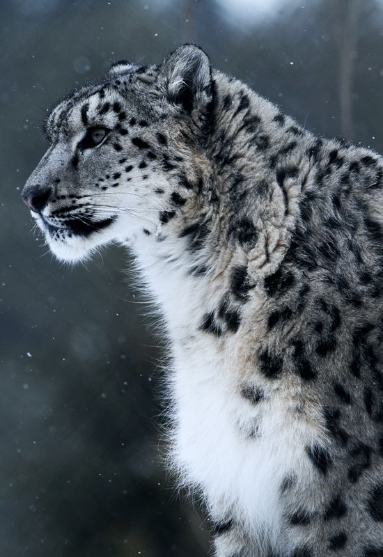 "johnnybravo20: "" Snow Leopard (by Christopher Kerrutt) """