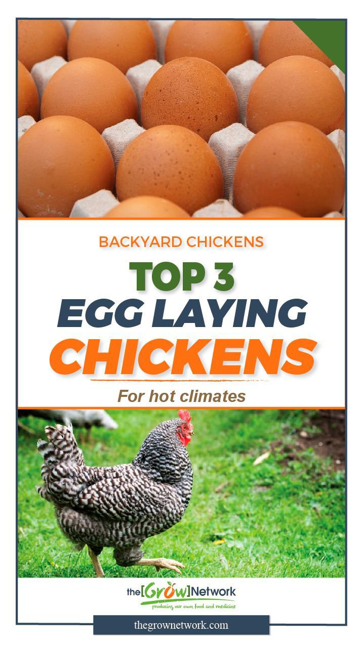 best 25 best egg laying chickens ideas on pinterest laying