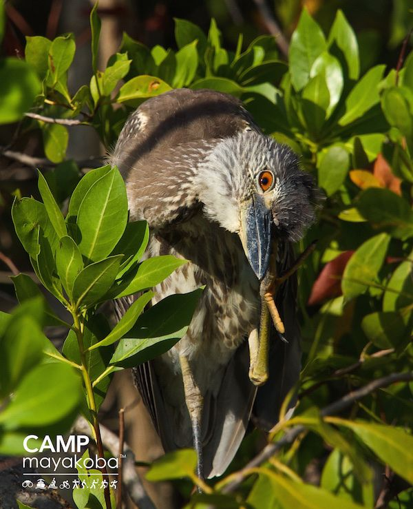 """""""I see you!"""" The Birds of Mayakoba are very relaxed and comfortable around us, but they always keep at least one eye on us as we cruise by in the electric boats."""