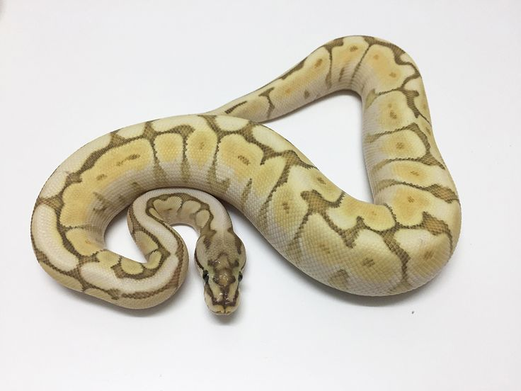 Female Butter Spider het Ghost Royal Python CB17 . Ball Python for sale UK, python regius for sale uk. Captive bred royal python for sale UK. Royal Python EU