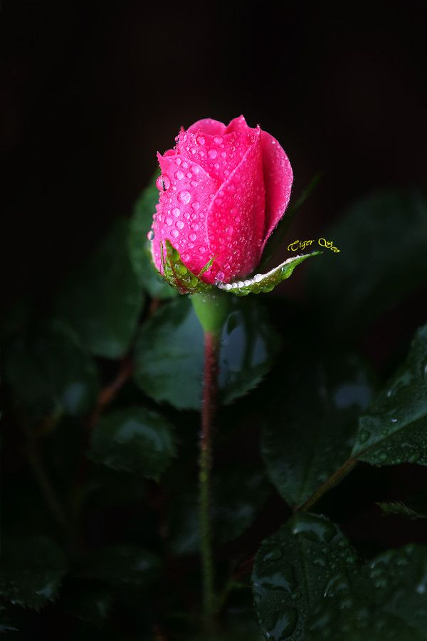"""500px / Photo """"rose in the rain 2"""""""