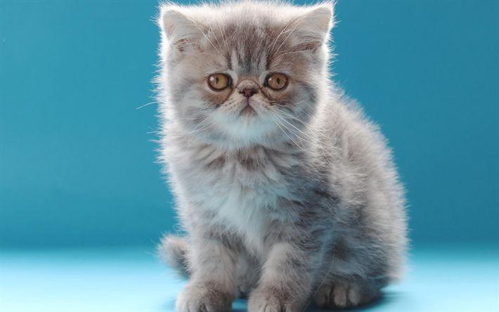 Download wallpapers British Semi-longhair, 4k, kitten, cute animals, cats, funny cat