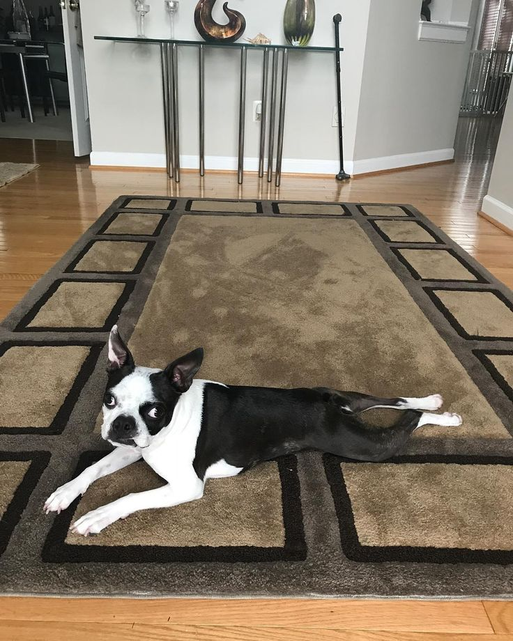 Parking Near The Living Room Boston: A Silly Boston Terrier Propels Herself Around The Living