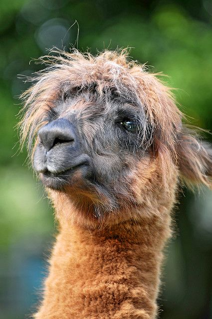 Llama... How could you not smile after looking at that face?