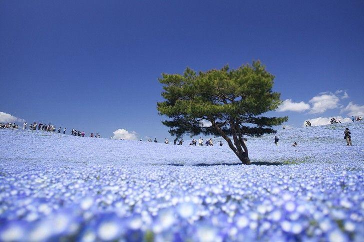 Hitachi Seaside Park, il surreale, meraviglioso paradiso dei fiori